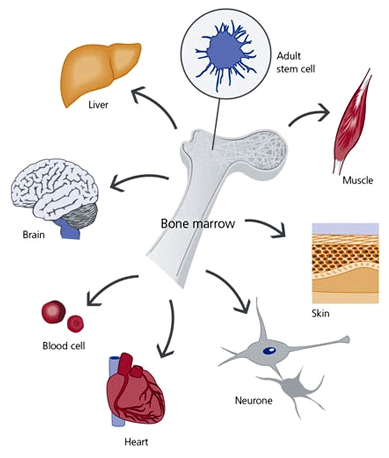 Bone marrow stem cells can become cells of anything in the body