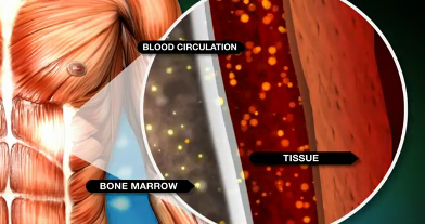 Bone marrow stem cells migrate into the bloodstream to renew and repair
